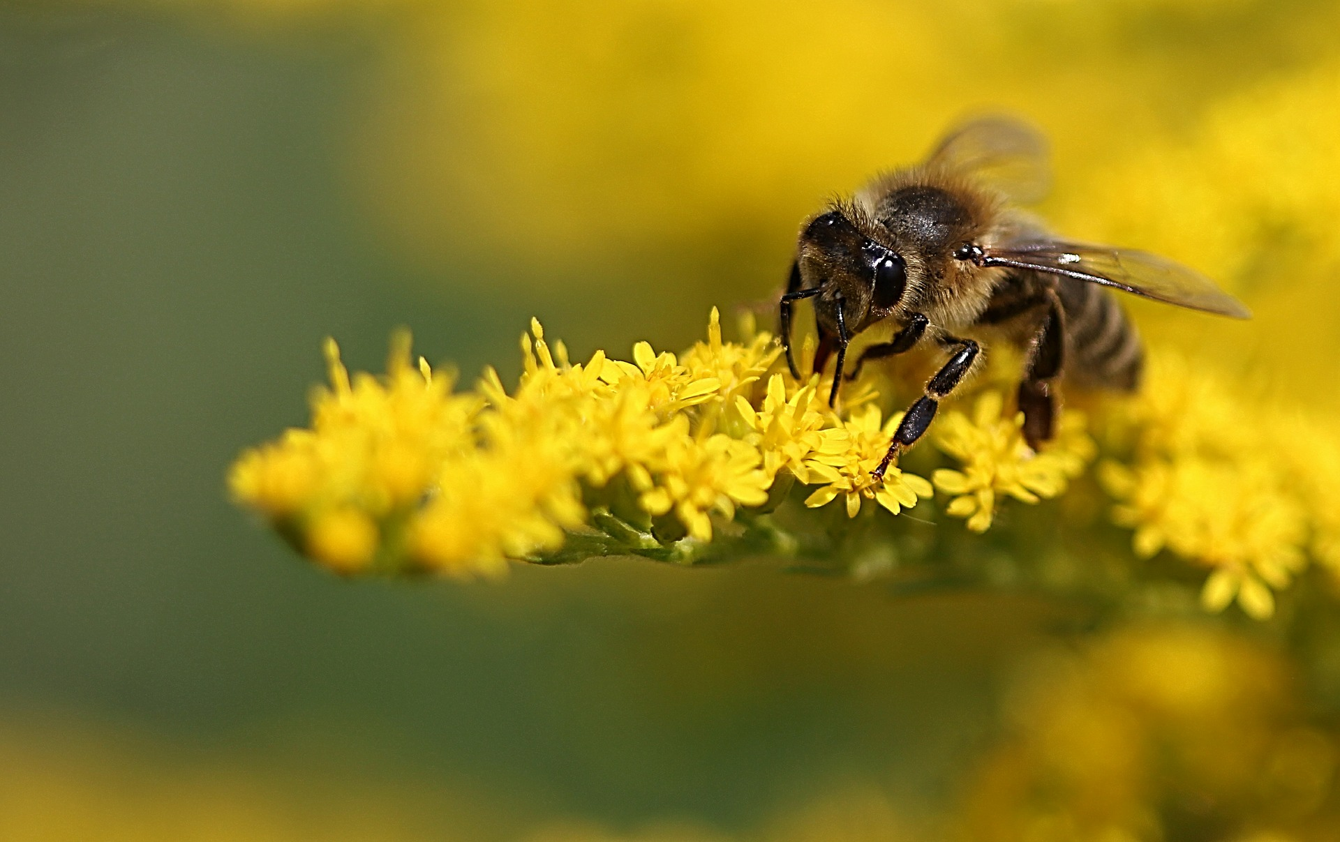 Biene auf gelber Pflanze